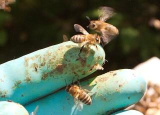 Biene jakter på meg