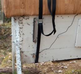 Maurene marsjerer inn