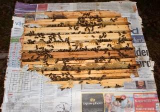 Biene har spist seg igjennom avispapiret